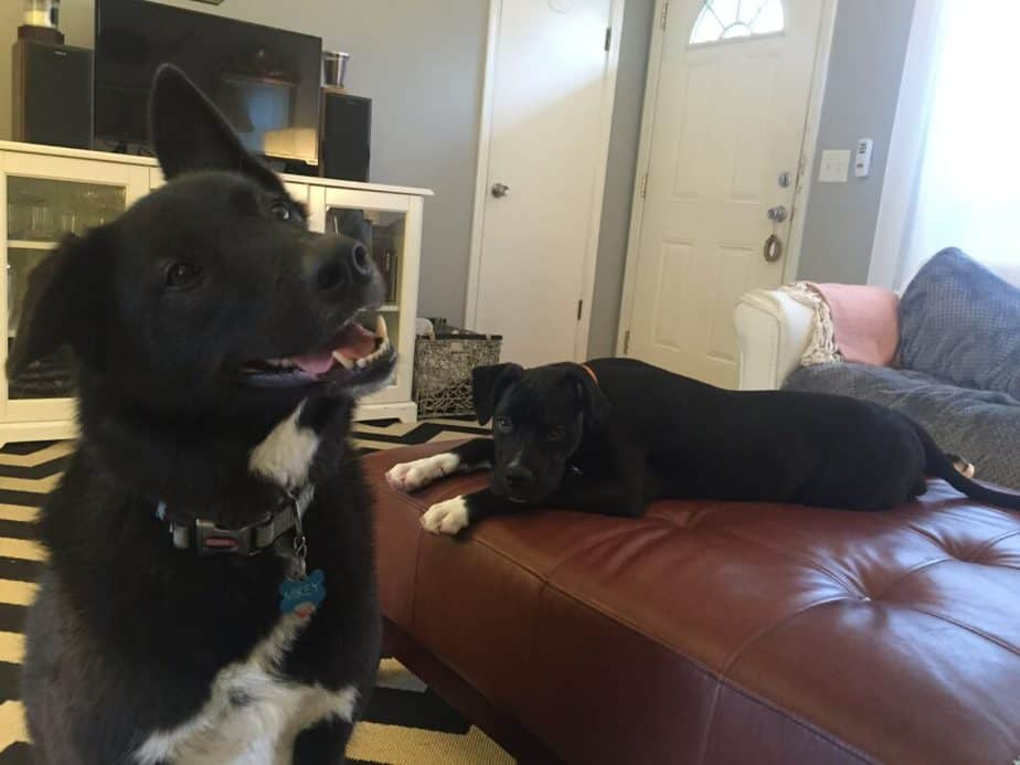 black dog with white chest fur with one floppy ear and one pointy ear is tilting his head and smiling while another black dog with white paws is laying on a large ottoman in a begging pose.